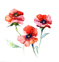 the spring flowers poppy painting watercolor isolated on the white background