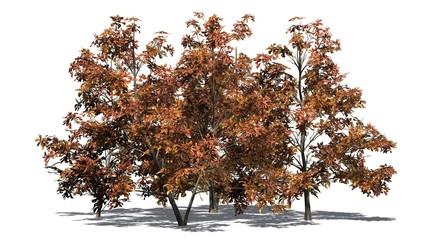 Korean Stewartia trees fall - isolated on white background