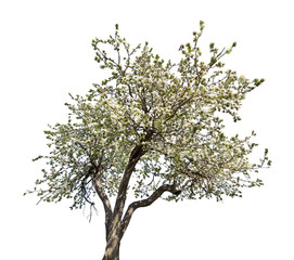 isolated blooming old apple tree