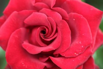 Fine red rose