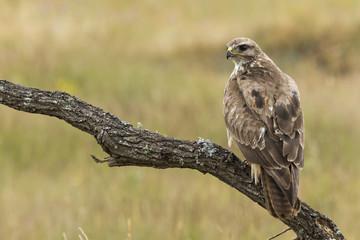Buzzard, ( Buteo buteo ), perched on his perch