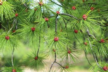Cedar flowers close up