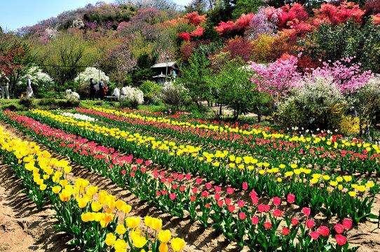 福島県 桃源郷「花見山公園」