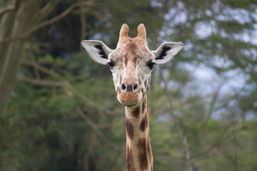 A headshot of a giraffe