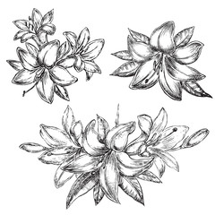 flower lily sketch illustration