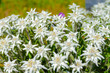 Leontopodium alpinum, flower Edelweiss, symbol of alps
