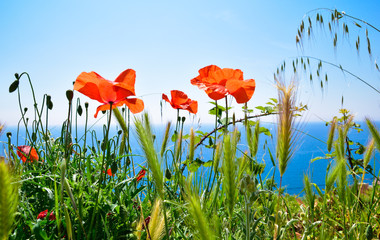 Red poppies on the sea shore