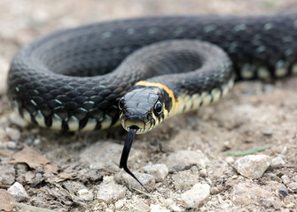 head of Grass snake with his tongue hanging out crawling