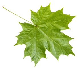 rear side of fresh green maple leaf isolated