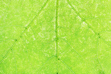 texture of fresh green maple leaf close up