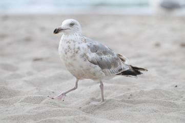 Junge Silbermöwe im Sand