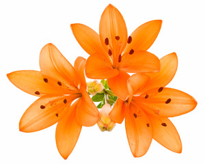Wall Mural - Orange lily isolated