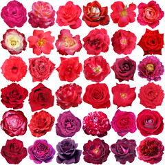 Big collection of beautiful red and purple  roses isolated on th