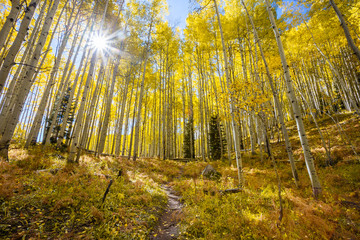 Sunburst in Autumn  through an Aspen grove along Kebler Pass in