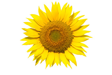 Sunflower Isolated / Sunflower isolated on white background.