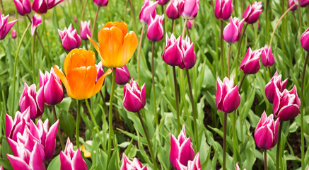 Two big yellow-orange tulips on background of many small pink tu