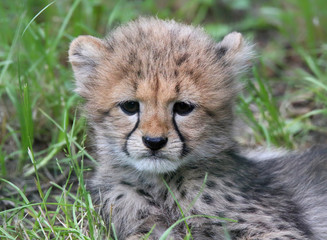 Portrait view of a cheetah cub