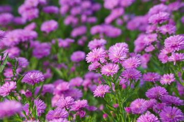 small purple chrysanthemum flowers