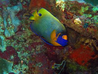 Blueface Angelfish (Pomacanthus Xanthometopon), aka Yellowface Angelfish, Yellow-masked Angelfish), Maratua, Indonesia