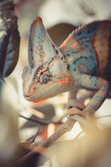 Yemen chameleon