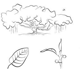 Banyan or Ficus benghalensis, vector illustration
