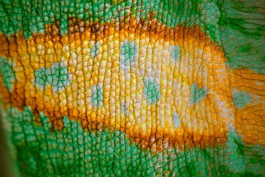 Close up of Four-horned Chameleon skin background, Chamaeleo quadricornis