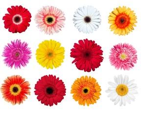 Gerbera Daisy, Flower, Single Flower.