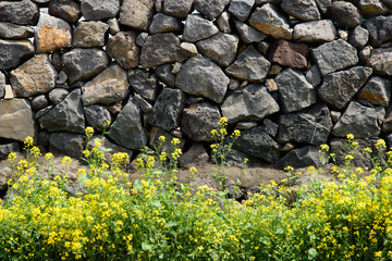 rape flowers against a Jeju Traditional Wall
