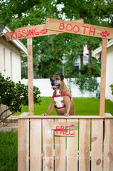 Boxer dog sitting in a kissing booth