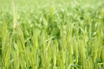 close-up of green barley field