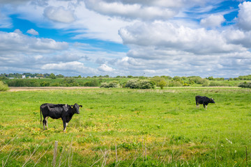 Two cows on a green field