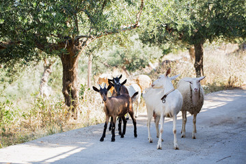 Goats and Sheep walking in mountain in Kalamata
