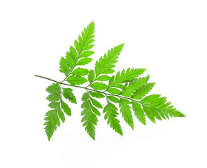 tree green leaves isolated on white background