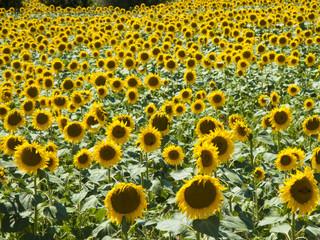 Toscana,campo di girasoli