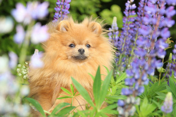Pomeranian dog in the summer flowers
