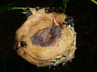 Two baby bird of rufous-tailed hummingbird in nest