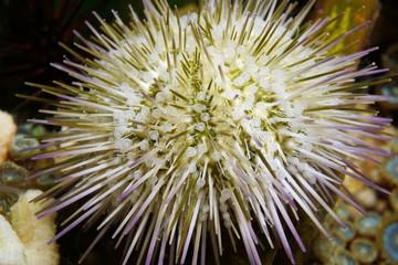 Underwater life closeup of a green sea urchin