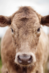 Portrait of a beautiful cow bull who looks into the camera Outdoors