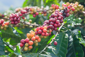 Coffee beans ripening on the tree