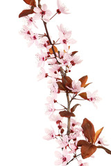 Spring flowering branch isolated on white