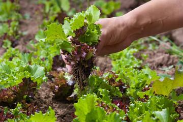 hand gathering lettuce