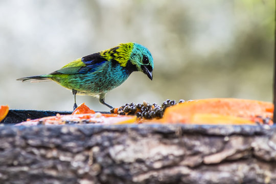Colorful bird eating