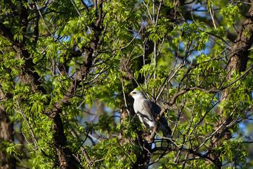 Gray Hawk at dawn in Patagonia, Arizona, near the Mexican border