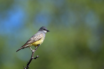 Cassin's Kingbird on a twig in Patagonia, Arizona, in spring