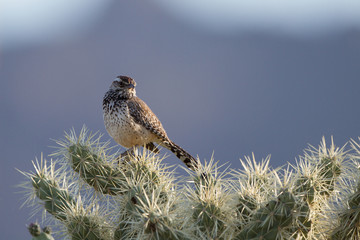 Cactus Wren on a Cholla cactus at dawn in the Sonoran Desert near Tucson, Arizona