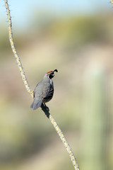 Gambel's Quail on an ocotillo stem in early spring in the Sonoran Desert