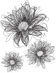 Daisy sketches