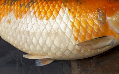 Closeup Koi fish