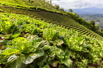 Closeup of young Kohlrabi or German turnip plants cultivated in the fertile soil of a small organic vegetable nursery with mountains as a background at Mon Jam, Chiang Mai