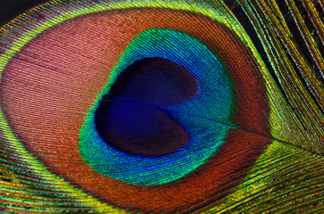Closeup peacock feather on a black background